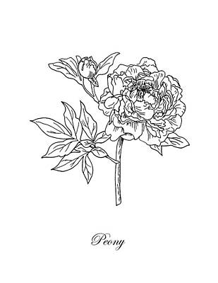 Drawing - Peony. Botanical by Masha Batkova