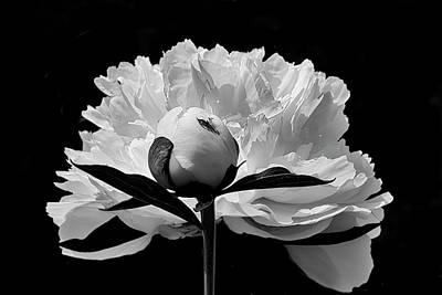 Photograph - Peony  Bw by Inge Riis McDonald
