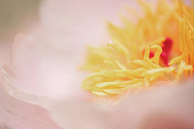 Photograph - Peony Classic by Kim Carpentier