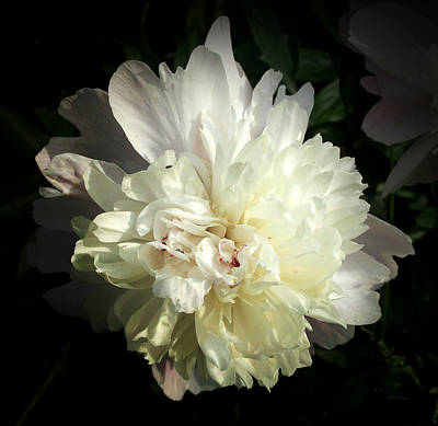 Photograph - Peony by Cynthia Lassiter