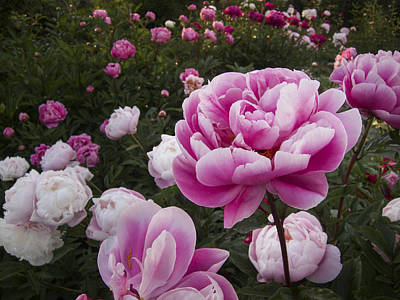 Photograph - Peony Field by Mary Lee Dereske