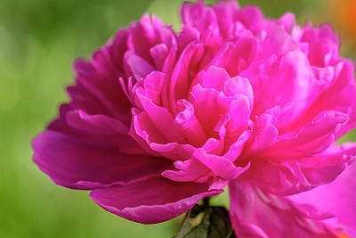 Royalty-Free and Rights-Managed Images - Peony Flower in Garden by Teri Virbickis