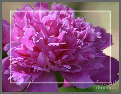 Photograph - Peony Framed In Silver by Sandra Huston
