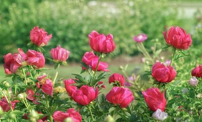 Photograph - Peony Garden by Kim Hojnacki