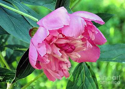 Photograph - Peony In Pink  by Janice Drew