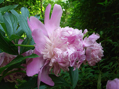 Photograph - Peony In Pink  by Terrance De Pietro