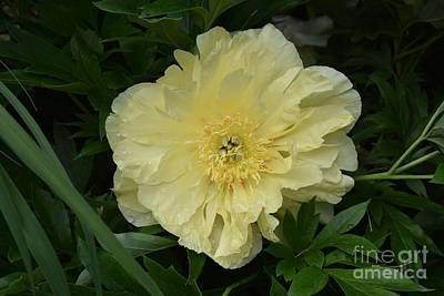 Photograph - Peony In Yellow by Jeannie Rhode