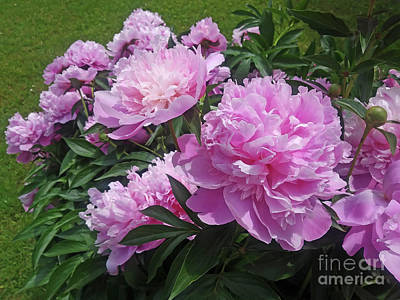 Photograph - Peony by Jasna Dragun