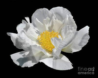Photograph - Peony June by Diane E Berry