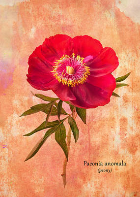 Peony Art Print by Mark Rogan
