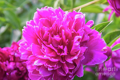 Photograph - Peony by Pamela Williams