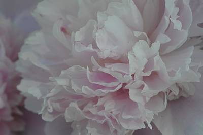 Photograph - Peony Passion No. 4 by Photography by Tiwago