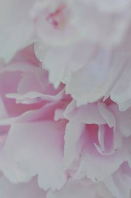 Photograph - Peony Passion No. 5 by Photography by Tiwago