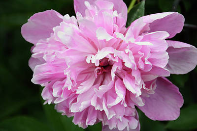 Photograph - Peony Perfection by Angelina Vick