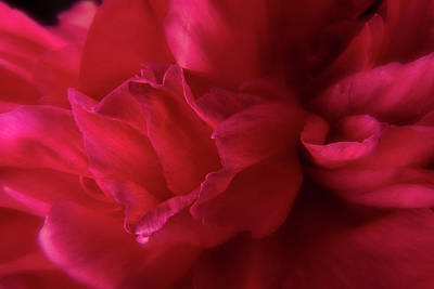 Photograph - Peony Petals 2 by Garry McMichael