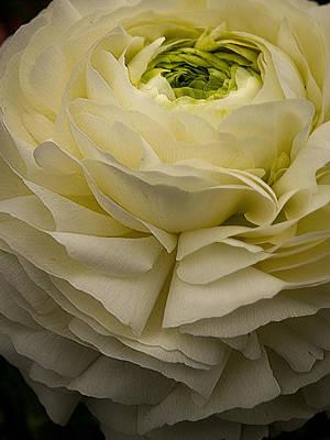 Photograph - Peony Petticoat By Jean Noren by Jean Noren
