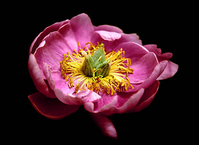 Photograph - Peony Pride by Jessica Jenney