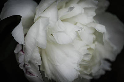 Photograph - Peony Profile by Amanda Rimmer