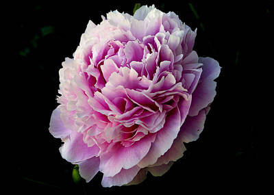 Photograph - Peony by Rhonda McDougall