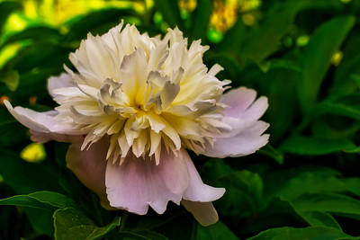 Photograph - Peony by Robert Brown