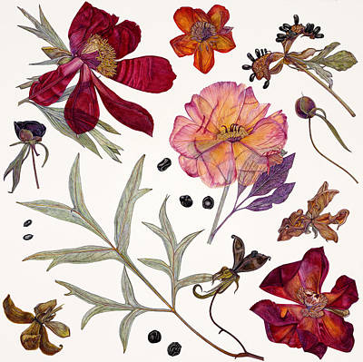Leaf Drawing - Peony Specimens by Rachel Pedder-Smith