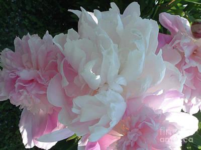 Belinda Landtroop Royalty Free Images - Peony Sunrise Royalty-Free Image by Belinda Landtroop