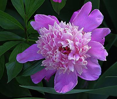 Photograph - Peony Time by Karen McKenzie McAdoo