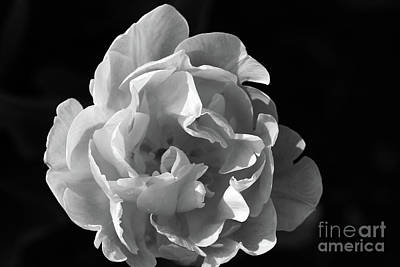 Photograph - Peony Tulip Black And White by Karen Adams