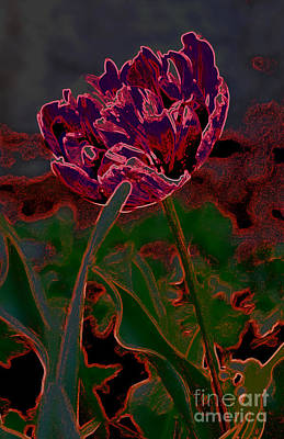 Photograph - Peony Tulip by Diane montana Jansson