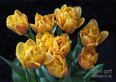 Photograph - Peony Tulips On Black by Ann Jacobson