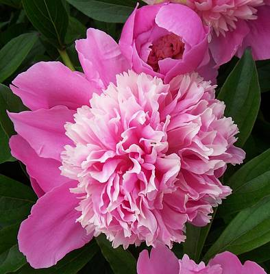 Peony With Ant Art Print by Ellen B Pate