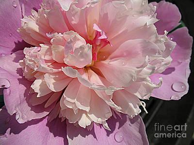 Photograph - Peony With Water Droplets by Jolanta Anna Karolska