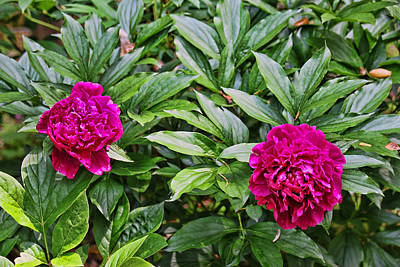 Photograph - Peony's Envy by Allen Beatty