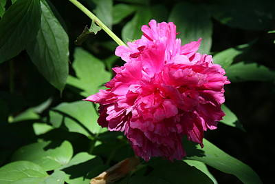 Photograph - Peony's Envy 18 by Allen Beatty
