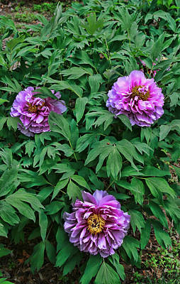 Photograph - Peony's Envy 27 by Allen Beatty