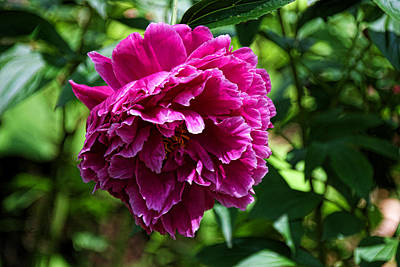 Photograph - Peony's Envy 3 by Allen Beatty