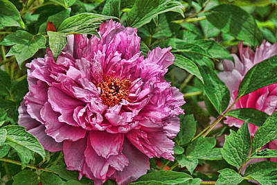 Photograph - Peony's Envy 31 by Allen Beatty