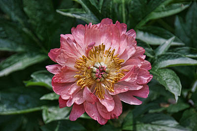 Photograph - Peony's Envy 4 by Allen Beatty