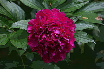 Photograph - Peony's Envy 2 by Allen Beatty