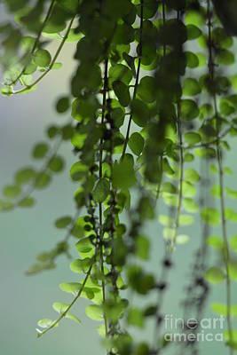 Photograph - Peperomia Rotundifolia by Maria Urso