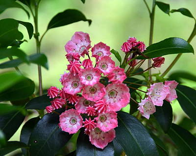 Photograph - Peppermint Pink Mountain Laurel by Carla Parris