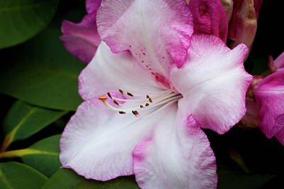Photograph - Peppermint Rhodie by Steven Clark