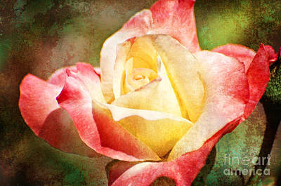 Photograph - Peppermint Rose by Jim And Emily Bush