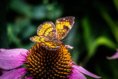 Pearl Crescent Photograph - Peral Crescent Butterfly Grazing For Nectar by Douglas Barnett