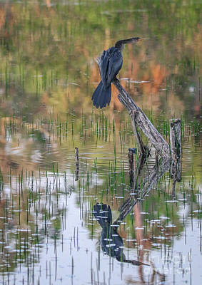 Photograph - Perched Anhinga Reflection by Tom Claud