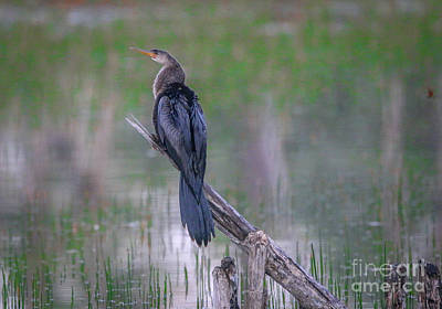 Photograph - Perched Anhinga by Tom Claud