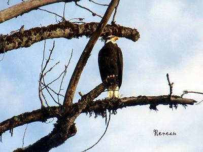 Photograph - Perched Bald Eagle by Sadie Reneau