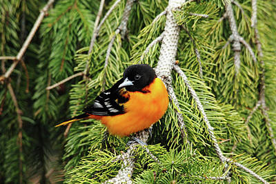 Photograph - Perched Baltimore Oriole by Debbie Oppermann