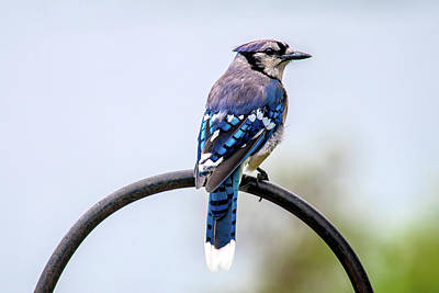 Photograph - Perched Blue Jay by Onyonet  Photo Studios