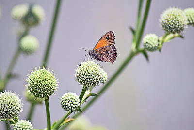 Photograph - Perched Butterfly No. 255-1 by Sandy Taylor